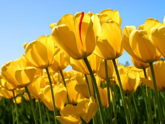 Yellow tulips in a field turn their head toward the sun